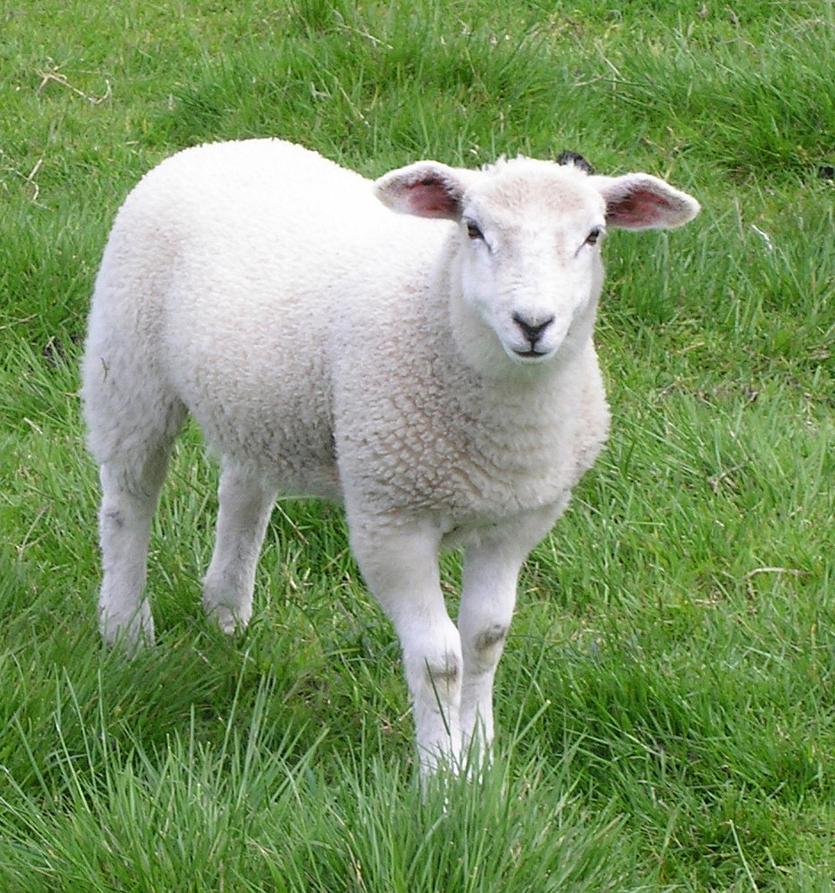 вышивки козы фото