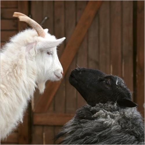 Пускать козла в огород это